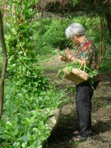 Alugbati being harvested for lunch